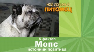 Мопс. 5 фактов о собаке-счастье