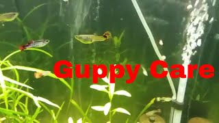 How to care for guppy. Quick guppy care guide with awesome video of Guppies and baby guppies.