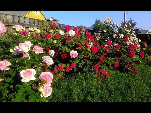 Английские розы. Шрабы. Пять сортов