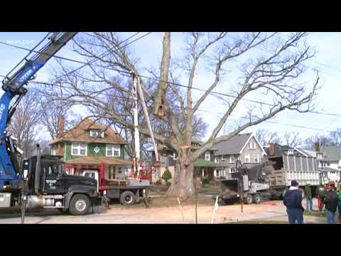 Historic 'Moses Cleaveland' tree cut down after 250  years