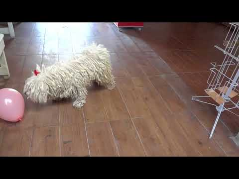 Puli jugando/ Puli dog playing