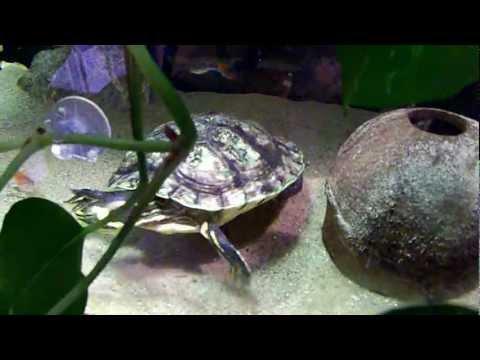 Tartaruga mangia latterini fresci - Turtle eating - Trachemys