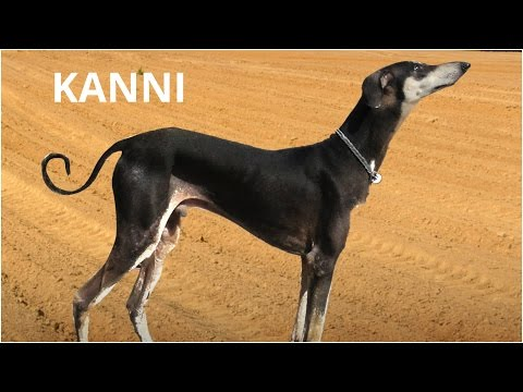 Kanni, a rare South Indian dog