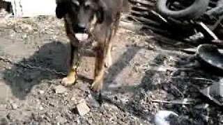 チベタン マスティフ(Tibetan Mastiff)チベット犬「藏獒」「西藏獒犬...