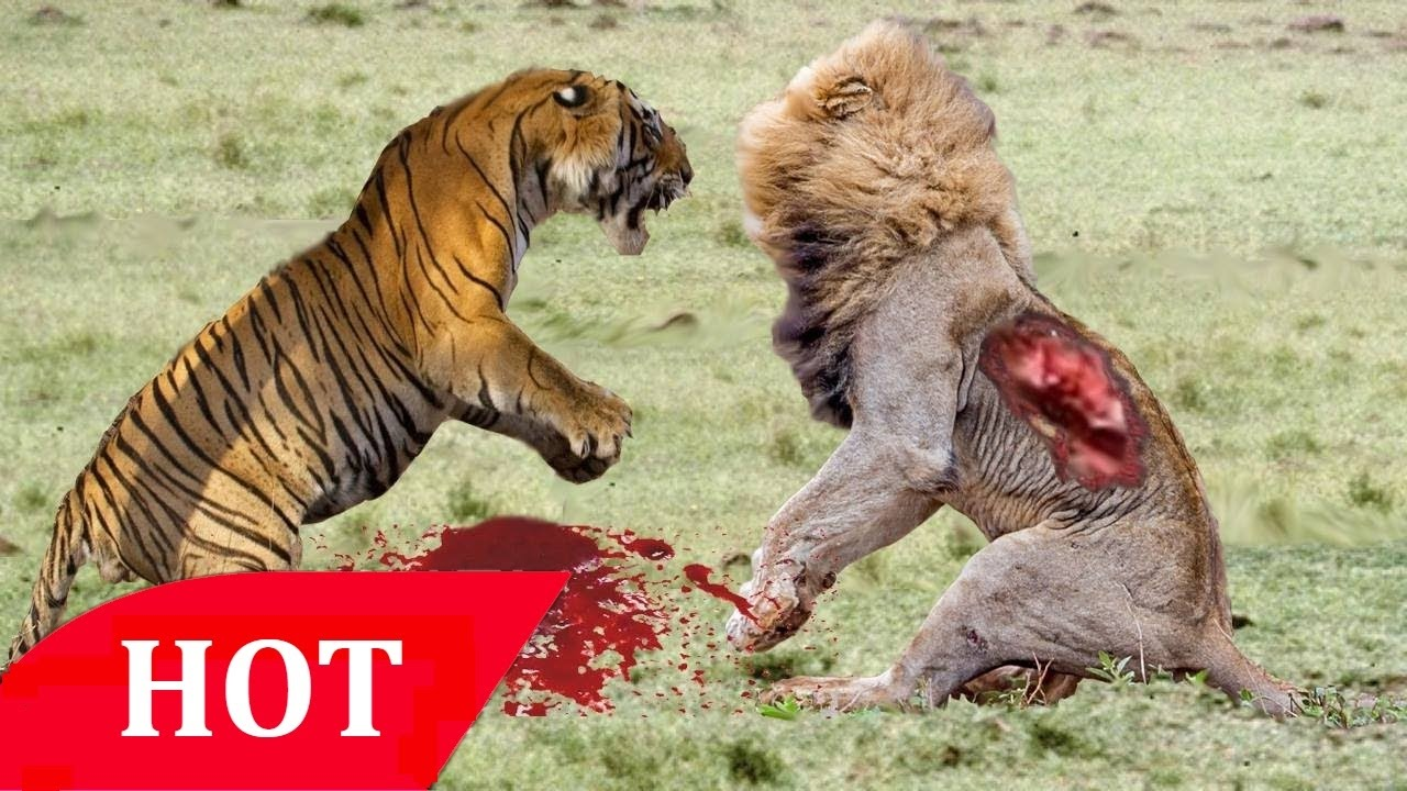 lions hunting prey 2016 hd ➥ documentary national geographic