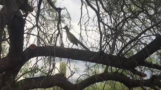 Beep! Beep! Roadrunner and coyote come face-to-face in Tucson
