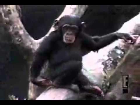 singe qui se sens le cul est tombe