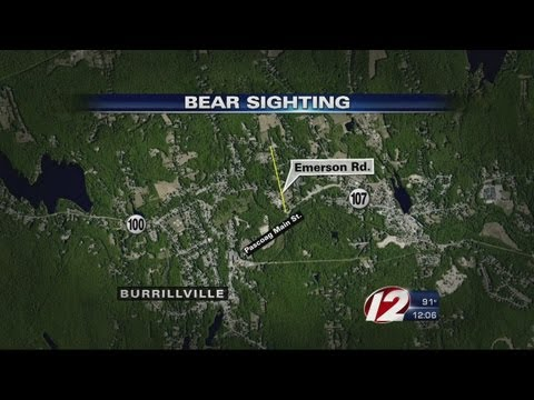 Bear Sighting In Burrillville