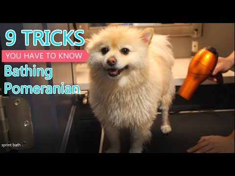 Pomeranian home bath tips you have to know [Sprint]
