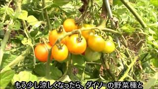 百均野菜種の農園「今の様子」 Risa Teriaヨーキーりさのベジタブルガーデン