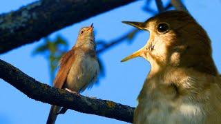 Соловей - божественный певец весеннего леса | Film Studio Aves