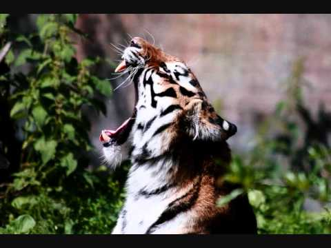 DJ Totten-T.O.A (Tiger on Acid).wmv