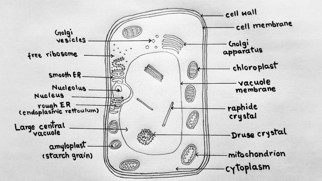 How to draw plant cell for class 9 / Plant cell diagram ...