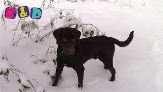 Шоколадный лабрадор Йоши на прогулке в снежном лесу  Labrador Yoshi for a walk in a snowy forest
