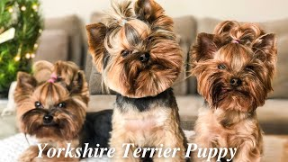 Yorkshire Terrier Puppy | Ten things you should know
