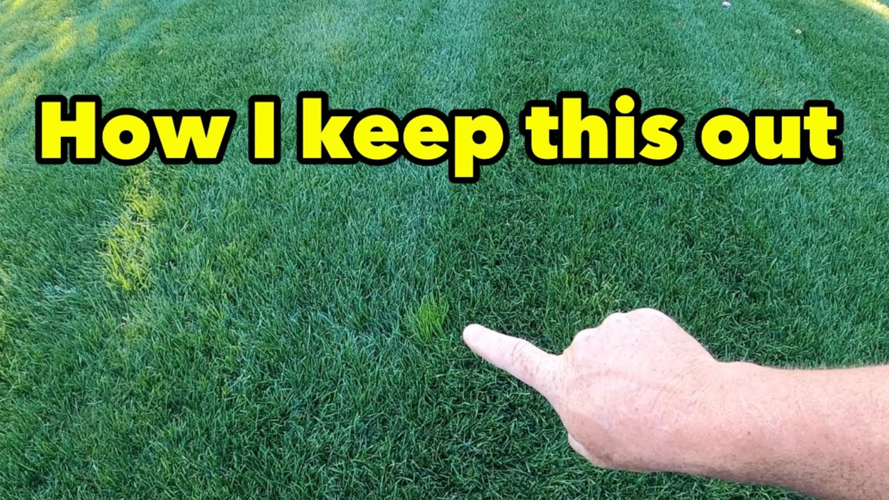 How I Control POA TRIV in my Yard