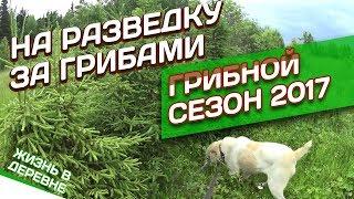 На разведку за грибами // Грибной сезон 2017 // Жизнь в деревне