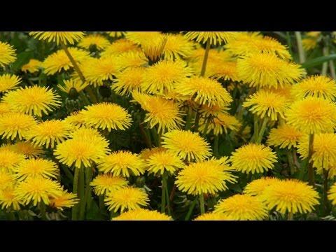 Одуванчик — свойства и применение | Лекарственные и съедобные растения