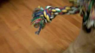 Rehpinscher Zwergpinscher / Chihuahua Mischling Welpe - Miniature Pinscher / Chihuahua Dog Puppy