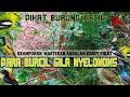 Pikat Burung Kecil Para Burcil Pada Gila Nyelonong Masteran Ala Koboy Pikat  Mp3 - Mp4 Download