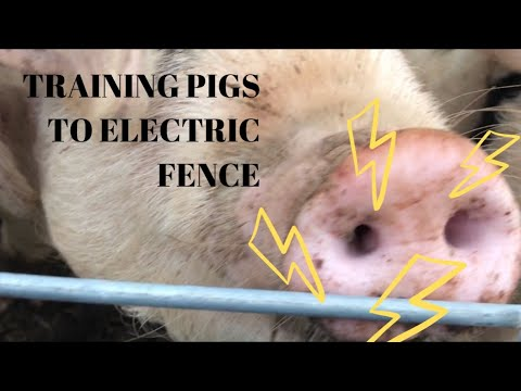 Pigs Get The Shock Of Their Life (electric Fence Training)