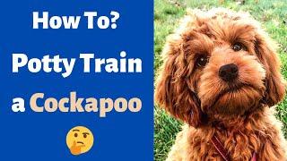 How to Potty Train a Cockapoo? Toilet Training a Cockapoo Puppy