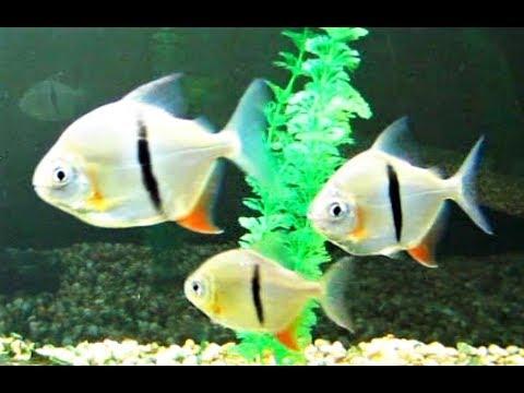 Thin Bar Silver Dollars Vieja Melanurus Redhead Cichlid Aquarium Fish Tank