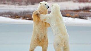 Белый медведь он же полярный или северный.