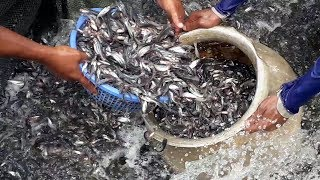Million of Pangasius Fish Seeds are Catching From The Pond   World largest Pangas Fish Farming