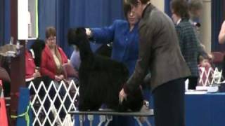 Halifax Kennel Club - Shadyhill American Cocker Spaniel - Best Of Breed Part 1