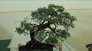 Motivation bonsai: Juniper