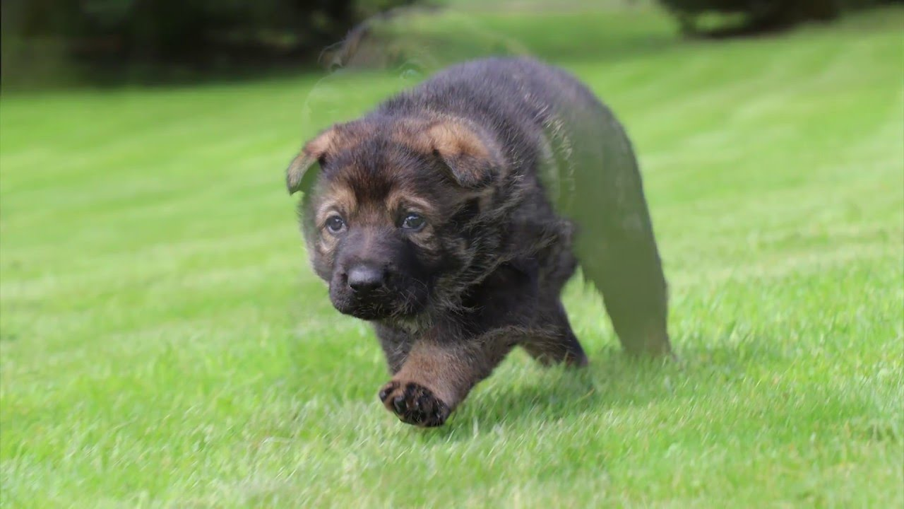 Gorgeous Red Sable German Shepherd Puppy For Sale Born 3 18 16