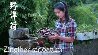 后山发现野生阳荷笋子出土了,紫色的笋子是难得的天然食材 Zingiber Strioatum