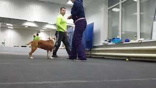 Амстафф *ЛИСА*-как поставить собаку на беговую дорожку