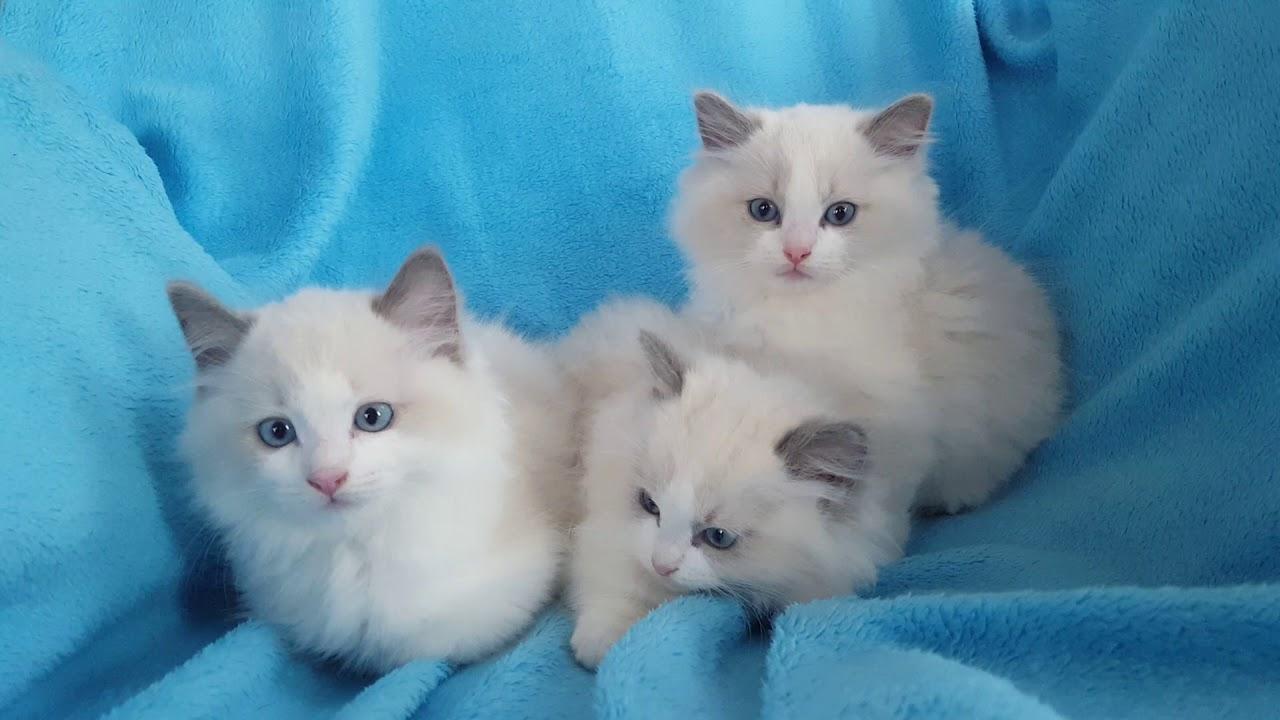 Каталог пород кошек. Рэгдолл: о породе тряпичных кошек, история породы ragdoll, окрасы, стандарт, продажа котят, фото кошек породы рэгдолл.