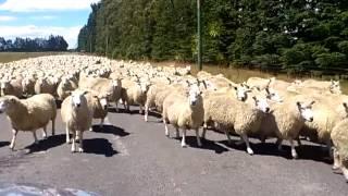 ニュージーランドで幹線道路を飛ばしていた所、進行方向から羊の大群が...