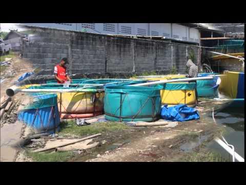 Tebar Benur Udang Vaname PT SLP Semarang Mei 8 2015 OK