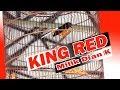 Hobi Kicau Murai Borneo King Red Masterannya Tak Diragukan Lagi Di Event Mandiri Cup   Mp3 - Mp4 Download