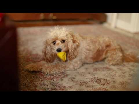 Full grown cavoodle playing with toy poodle - cavapoo videos