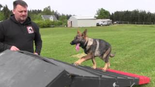 Bold and confident 4 month old female German Shepherd puppy demonstrates obedience and agility
