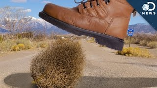America's War On Tumbleweeds