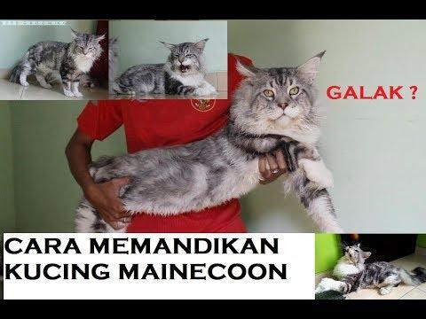 CARA MEMANDIKAN KUCING GALAK | MAINECOON GROOMING | BELAJAR GROOMING