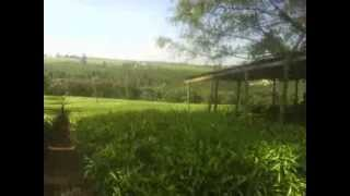 MOV 0156-A Ten Minute Walk Through THe Vast James Finlay Tea Estates Of Kericho,Kenya