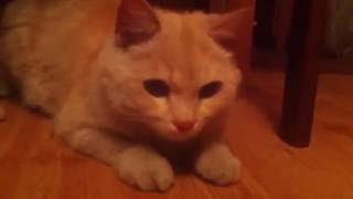 кот Кипяток ловит красную точку