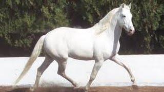 Como domar caballos Lusitanos - TvAgro por Juan Gonzalo Angel