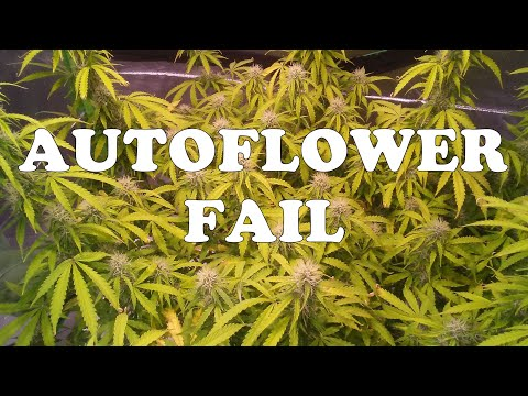 My Northern Lights Autoflower Failed To Produce Mature Flowers