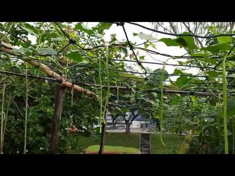 Organic Farming in Singapore---String Bean