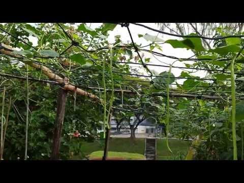 Organic Farming in Singapore---String Bean