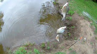 Первая рыбалка после самоизоляции.Попал на косяк густеры.