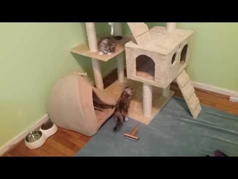 2 month old silver siberian kittens playing in cat trees